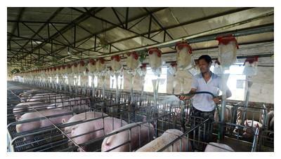 从规模猪场传出来的益生菌保健法,让你的猪更好养