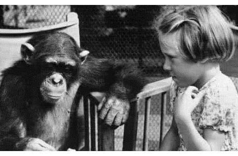 曾和人类婴儿一起长大的黑猩猩,一直认为自己是人类,如今咋样了