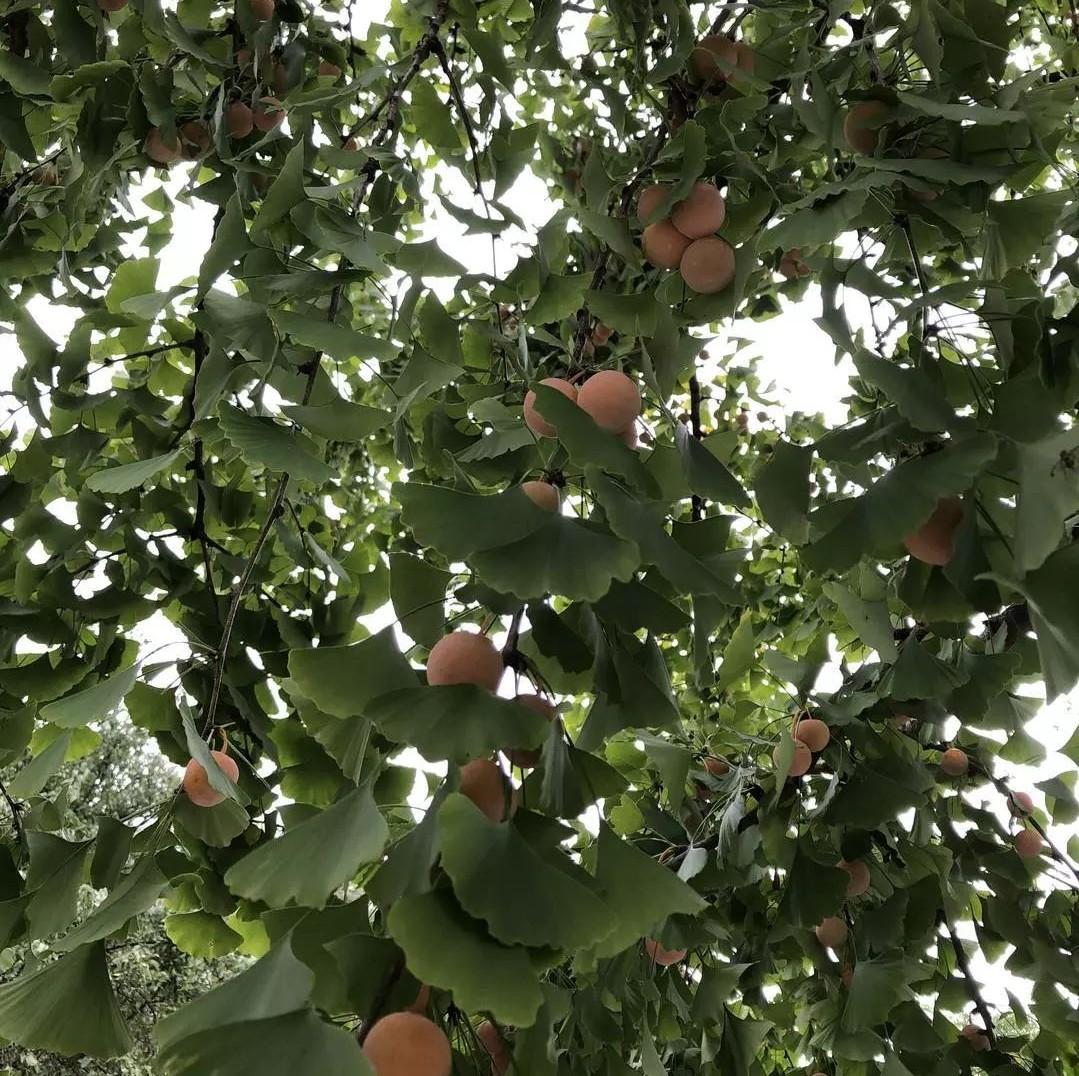 千万别捡!这种果子随处可见,小孩生吃10颗即可能致死