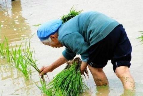 水稻为什么要育秧而不是直接把种子扔稻田?很多人不清楚其中缘由