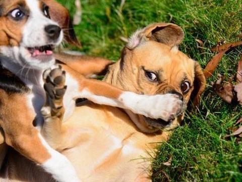 世界知名十大宠物狗,看看有你喜欢的小可爱吗?