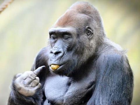 """大猩猩拉粑粑,却突然朝游客扔来""""不明物体"""",人们看后纷纷躲远"""