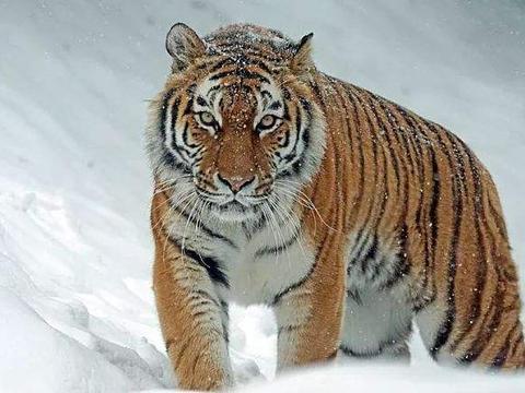 棕熊的体型比老虎大,可为什么棕熊却是老虎的猎物呢?