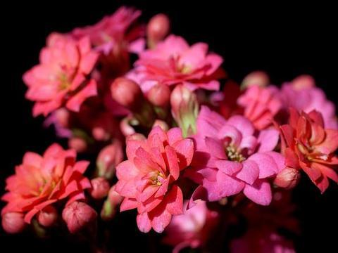 长寿花不开花?按这4点来做,长寿花花期爆盆