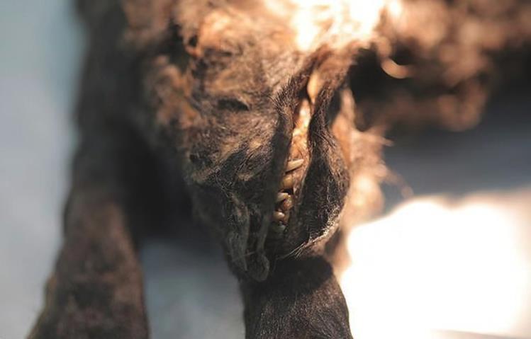 冻土融化后,西伯利亚出现14300年前动物,其身世极为诡异