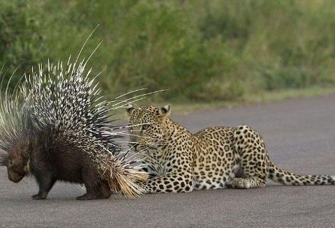 这类带刺动物在地球上共有两种,一种需要保护,一种却被视为害虫