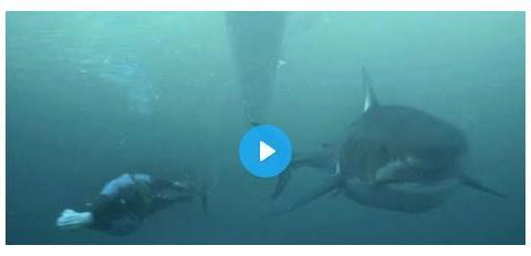 游泳超级明星迈克尔菲尔普斯赛跑A(计算机生成)大白鲨!