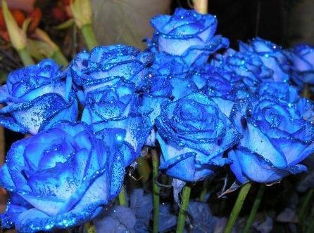 """喜欢菊花,不如养盆""""珍稀玫瑰""""蓝色妖姬,像极了爱情,清纯美丽"""