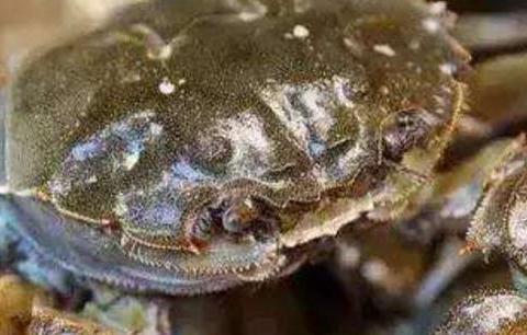 看看外国螃蟹加工厂,处理一只仅30秒,工作效率大大提高