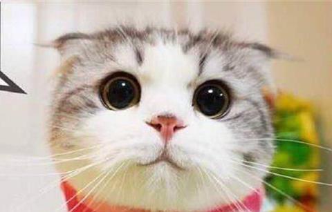 养宠知识:折耳猫脸不太圆,折耳猫脸不太圆吃什么