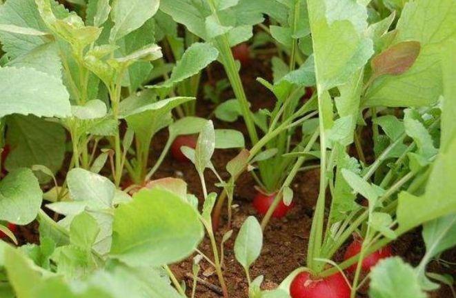 樱桃萝卜种植技巧,技术培育,栽培管理,病虫害防治