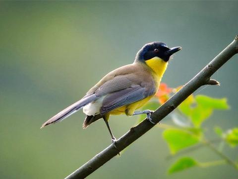 婺源现珍稀鸟类,全球只有200多只,最爱干净每天洗澡两次