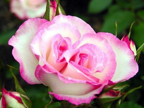 家养菊花,不如养款法国莫奈,似美人风中起舞,繁盛纱影舞魅