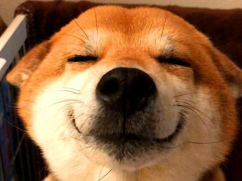 柴犬为显腿长强拉柯基合影,小短腿识破胖柴意图后,强势表示嫌弃