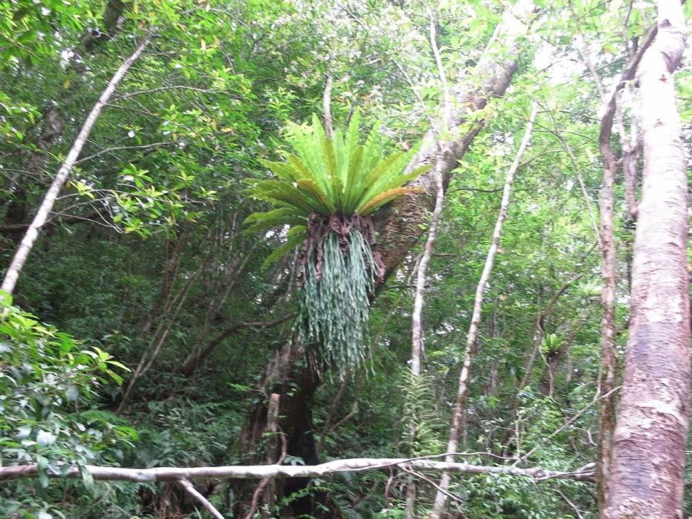 从大树上掰下来一个小鸟巢蕨,养窗台变就能长,期待它长大
