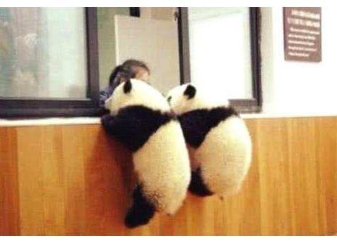 两只熊猫越狱的动作神同步,真是太萌啦!网友:心疼最下面的熊猫
