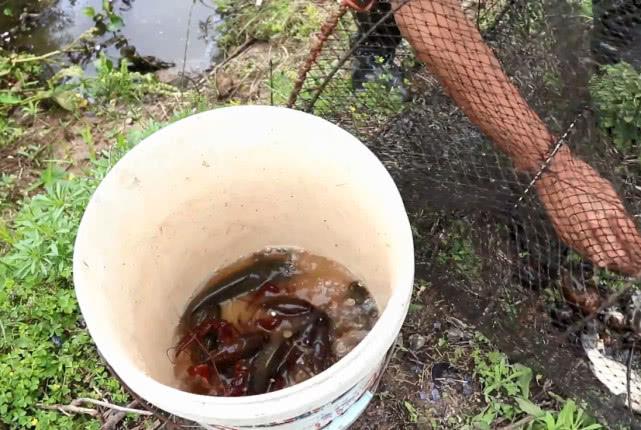 野塘里放了好几个地笼,以为只能收获小龙虾,没想到还有这野货