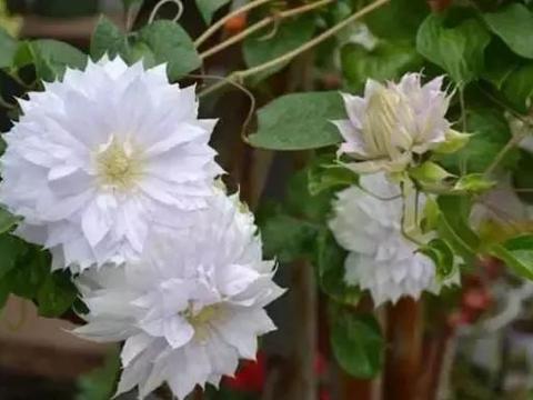 阳台种上4种爬藤花,3个月变花海,阳台也能变成小花园!