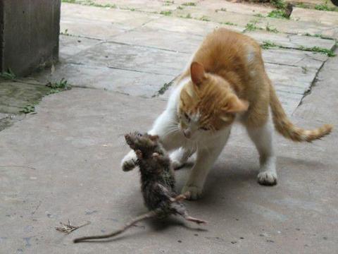 猫咪盯着院子角落看,下一秒就抓出一只老鼠,猫:今天有肉吃了