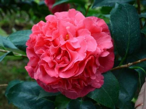 """此花,像极了茶花,却名叫""""牡丹"""",耐旱又耐寒,观赏价值极高"""
