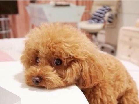 """粗心主人""""玩丢""""泰迪,可怜小狗苦等数周,看到周围的人都心疼了"""