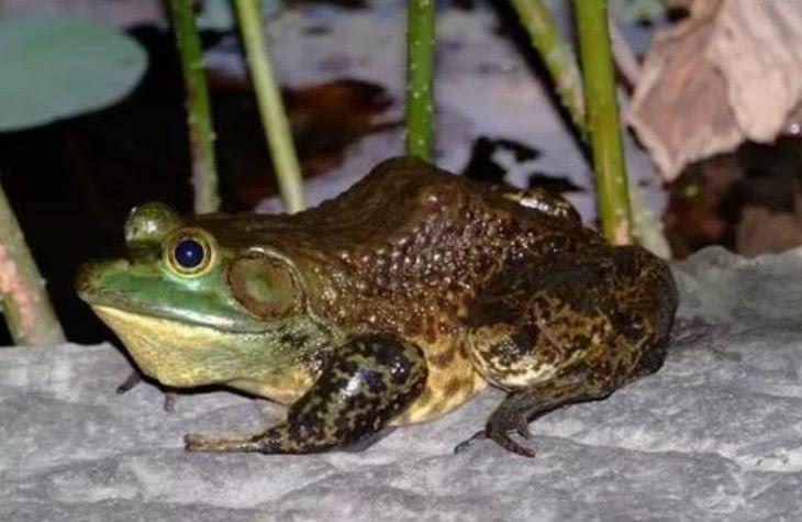 人们经常吃的牛蛙,战斗力很凶悍,能将毒蛇咬死,以鱼类为食