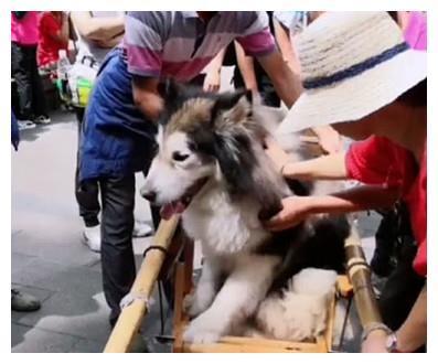 本想带狗狗爬山减肥,它没走几步就瘫在地,只好请轿子来