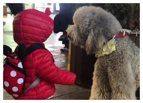 家长用绳牵孩子遛弯,和迎面走来的泰迪相遇后,画面瞬间萌爆了