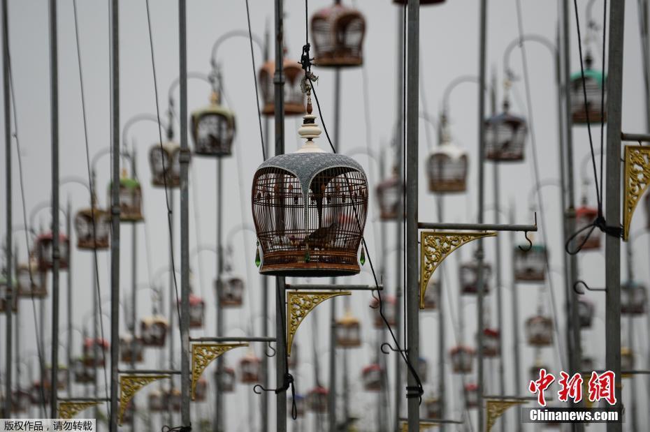 泰国举办鸟类歌唱比赛 上千只鸟儿一较高下泰国举办鸟类歌唱比赛 上千只鸟儿一较高下