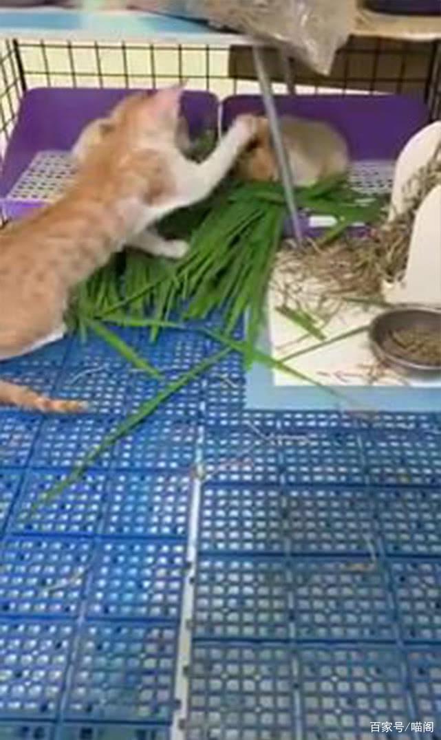 橘猫抢夺荷兰猪的食物,中途还揍对方,网友:吃就算了,还动手