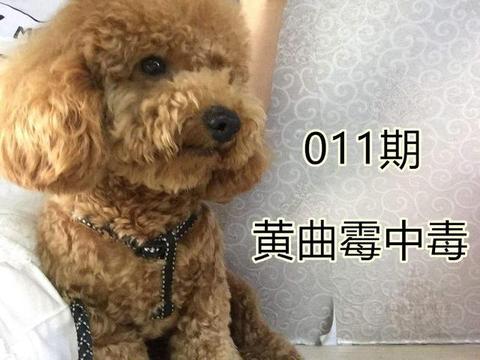 泰迪误食变质狗粮导致肾衰,铲屎官需掌握黄曲霉素的快速辨别方法