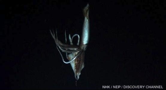 人类再次拍到巨型乌贼,第一次是在北大西洋,这次是在墨西哥湾