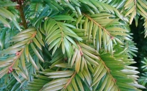 红豆杉叶子发黄怎么回事,和这三点一定有关系