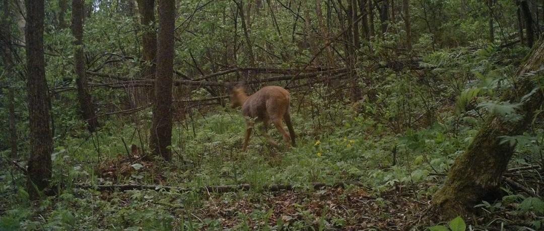 """【罕见】这个""""濒危""""的野生动物在黑龙江一保护区首次被拍到!"""