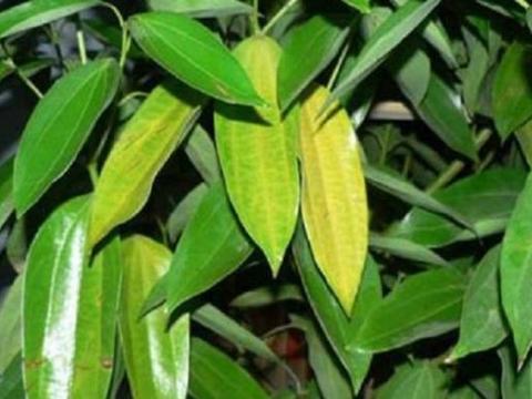 绿植黄叶怎么办?5个问题要解决,叶子绿油油枝条更旺盛