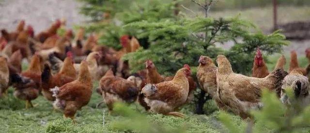 鸡张口呼吸怎么办?鸡张口呼吸用什么药,教你一招轻松应对