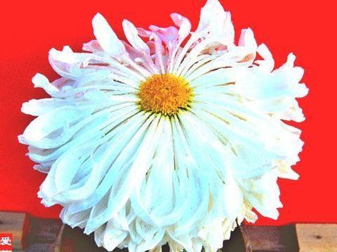"""喜欢菊花,不如养盆优良名菊""""竹林雪"""",似洁白碧玉,鲜艳美丽!"""