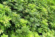 鸭脚木别称鸭掌木、鹅掌木、手树、小叶伞树、矮伞树、舍夫勒氏