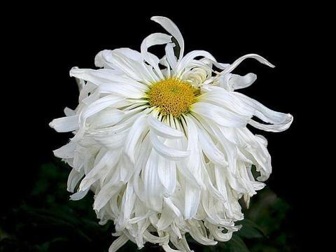 """喜欢菊花,不如养盆优良名菊""""竹林雪"""",花开洁白如玉,独秀群芳"""