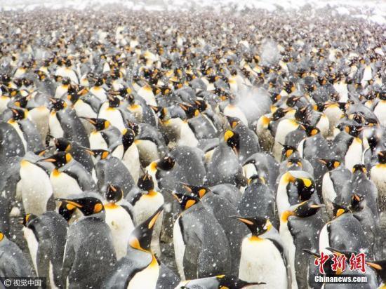 材料图:帝企鹅。图片滥觞:视觉中国