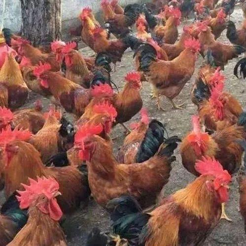养殖户须知:鸡为何会拉酱油便?患有坏死性肠炎又该如何救治