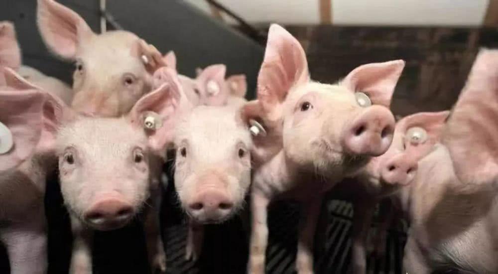 四川生猪生产有趋稳好转迹象 后期出栏价仍有高位继续上涨可能
