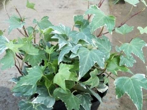 """捡一块树皮,泡水100分钟变成""""生根剂"""",浇常春藤,长满一大盆"""