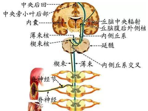 脑和脊髓的传导通路