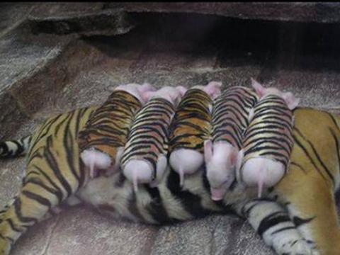 老虎妈妈产后变得抑郁,竟拿小猪充当孩子,加倍疼爱让人感动