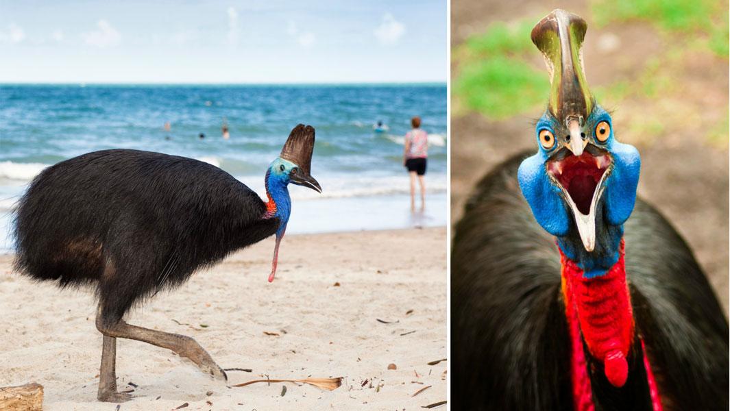 食火鸡,体型和速度都比鸸鹋鸵鸟弱,为什么是世界上最危险的鸟?