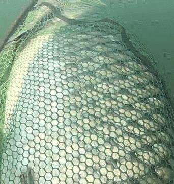 """渔民花3小时,捕获一条47岁的""""青鱼王"""",体重和成年人一样"""