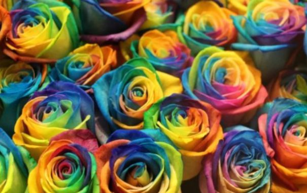 """""""高档玫瑰""""彩虹玫瑰,百媚千娇,清奇娟秀,可以说是养花必备"""