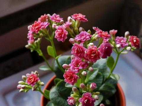 """养长寿花,""""自然""""方法让花期提前,开花一茬茬不间断"""