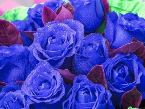 """""""高档玫瑰""""蓝色妖姬,花中新贵,珍稀美艳,可以说养花必备"""